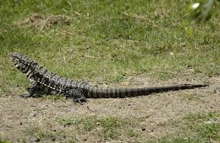 lagarto overo Tupinambus teguixin merianae reptiles de Argentina