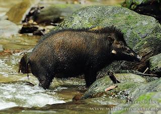 cerdo de las Celebes Sus celebensis mamiferos de Asia