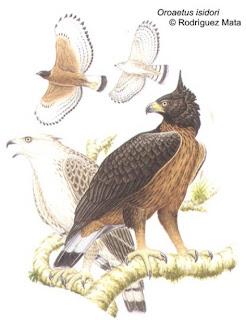 águila poma Spizaetus isidori birds of Argentina