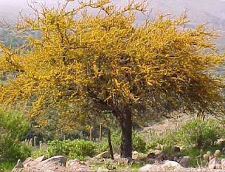 espinillo Acacia caven arboles de Argentina