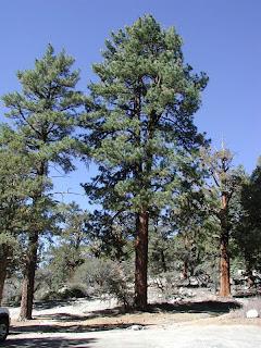 pino real Pinus ponderosa