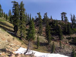 pino cola de zorro Pinus balfouriana