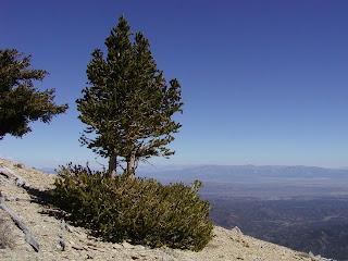 pino birstlecone de la gran cuenca Pinus longaeva