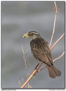 ecologia de los paseiformes