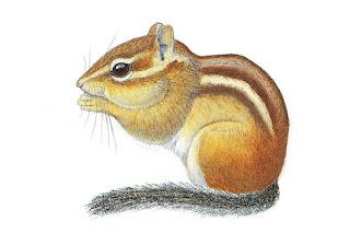 ardilla rayada del este Tamiasm striatus
