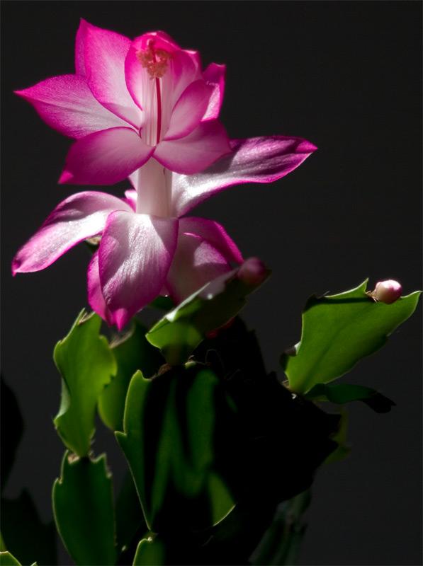 Plantamer cactus de navidad for Cactus de navidad