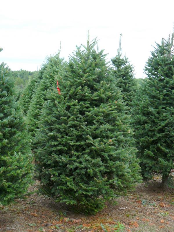 Plantamer el abeto rbol de navidad - Arbol de navidad abeto ...