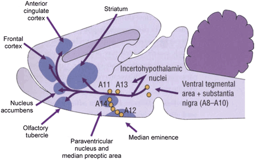Schematic representation of the involvement of dopaminergic pathways in the control of erectile function in the rat