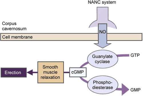 The role of nitric oxide (NO), cyclic guanosine monophosphate (cQMP), and phosphodiesterase type 5 (PDE5) in penile erection