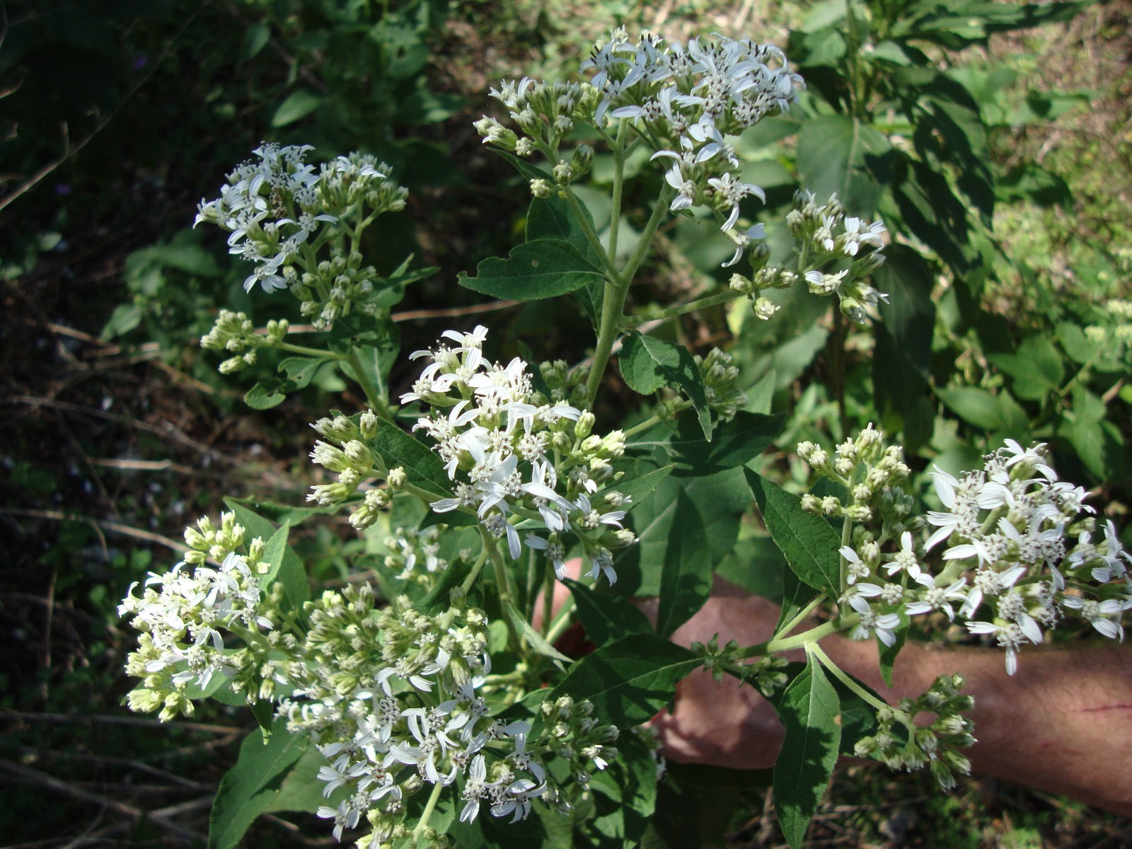 Where plants rule fall wildflowers frostweed plants grow at the edges of woodlands and bloom august through november attracting butterflies with their white flowers mightylinksfo