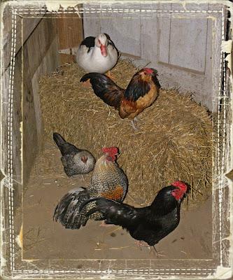 chicken breeds silkies. varieties--from Silkies,