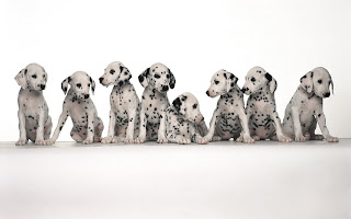 Dalmatian Puppie Wallpaper