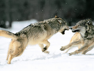 Fighting Grey Wolves HD Wallpaper