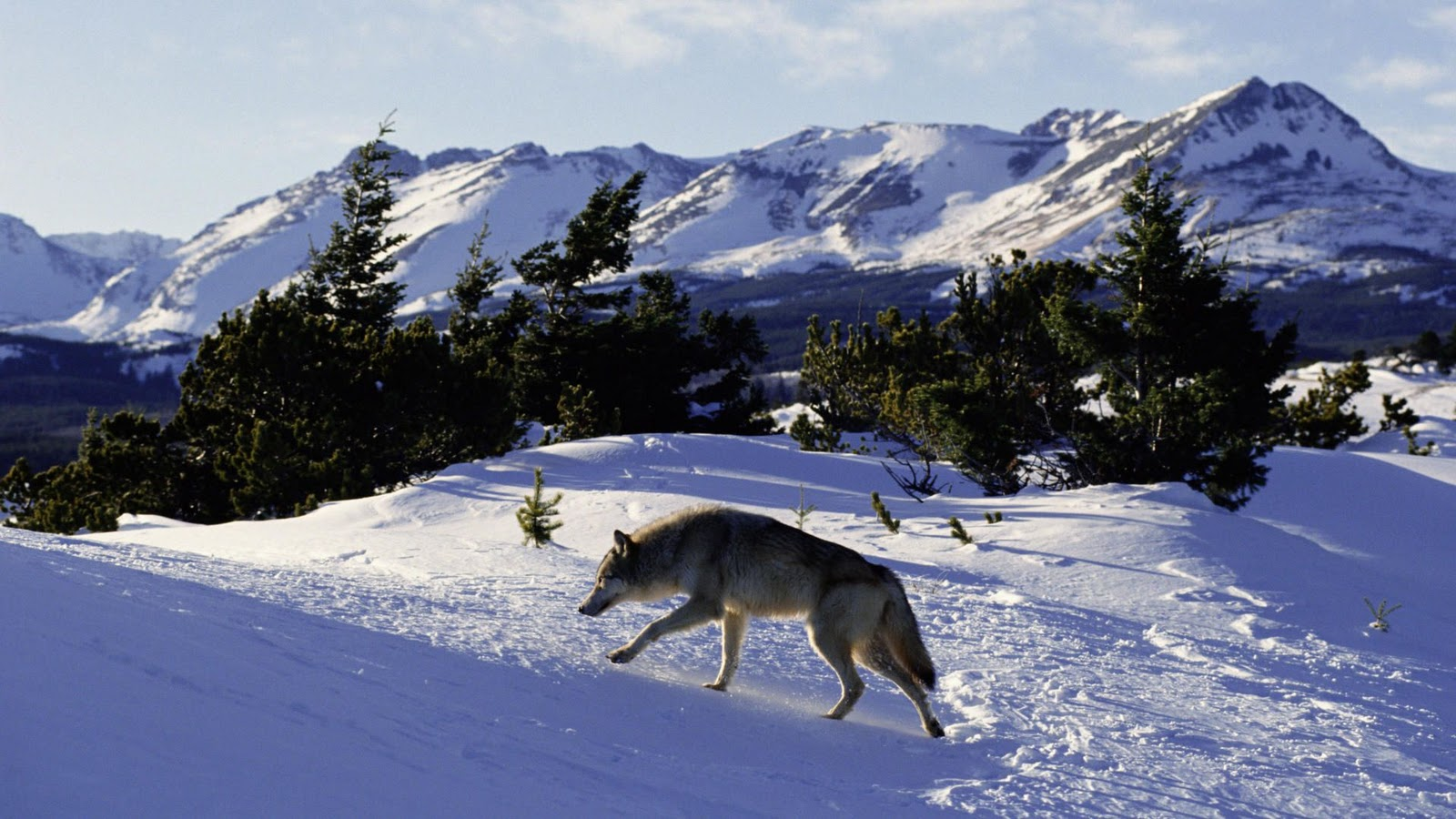 http://3.bp.blogspot.com/_nD_YgZuOadA/TS3a7qGd9rI/AAAAAAAABSI/V5Hr5M3_2i0/s1600/North_American_Grey_Wolf_Rocky_Mountains.jpg