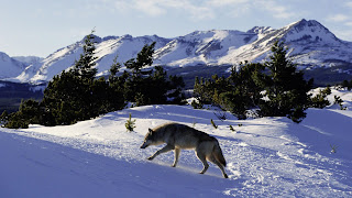 Grey Wolf on Snow HD Nature Animal Wallpaper