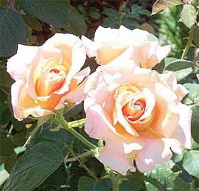 Arti warna pada bunga mawar|http://bambang-gene.blogspot.com