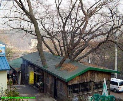 Casa y árbol, techo atravesado