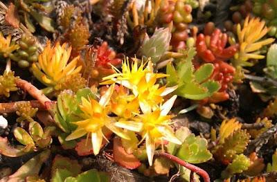Plantas del techo ecológico