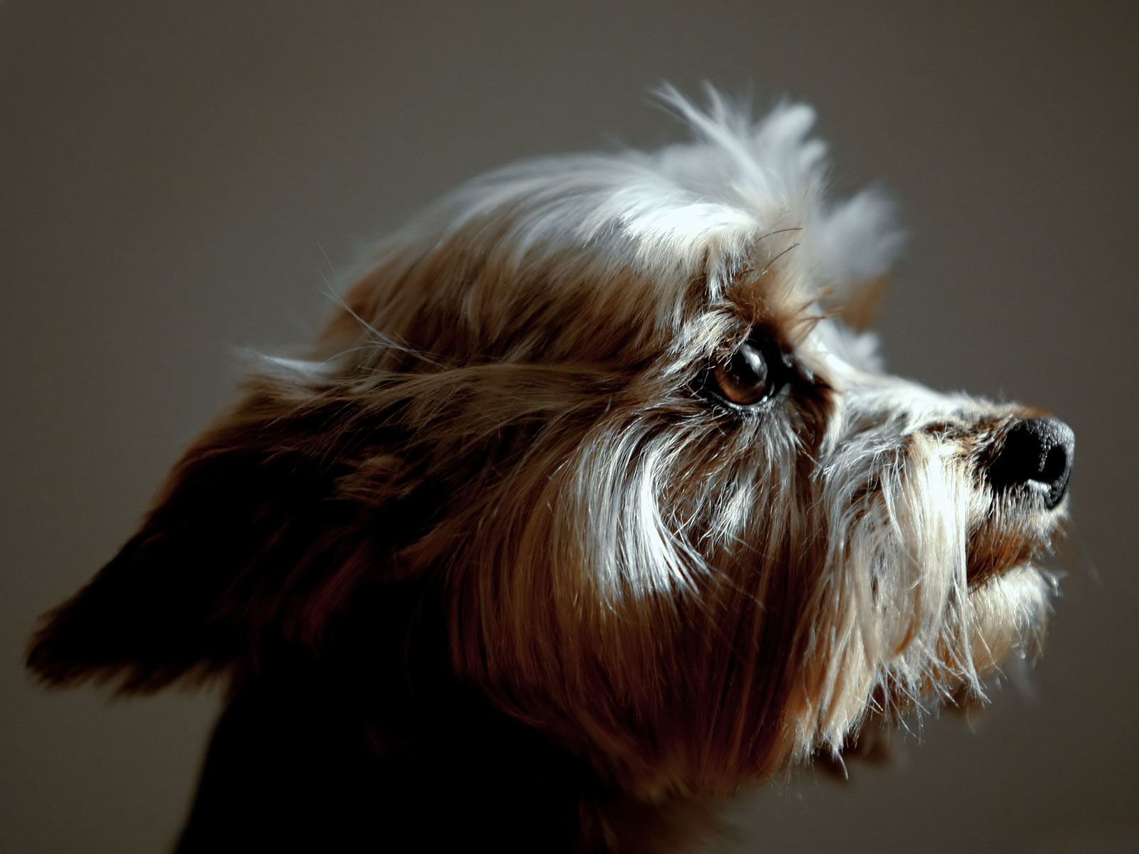 http://3.bp.blogspot.com/_nEmB3Z5F5EM/S62FGnytEJI/AAAAAAAAIJY/hJ3ZRD0MAUU/s1600/Australian_Silky_Terrier.jpg