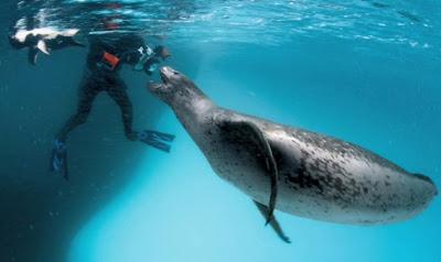 http://3.bp.blogspot.com/_nFUq8O1wff0/Sx3L-hdF8iI/AAAAAAAAHkw/c94RUUbpqg0/s400/leopard+seal.jpg
