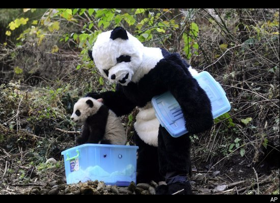 Worker Dressed in Panda Costumes to Release Baby Panda into Wild