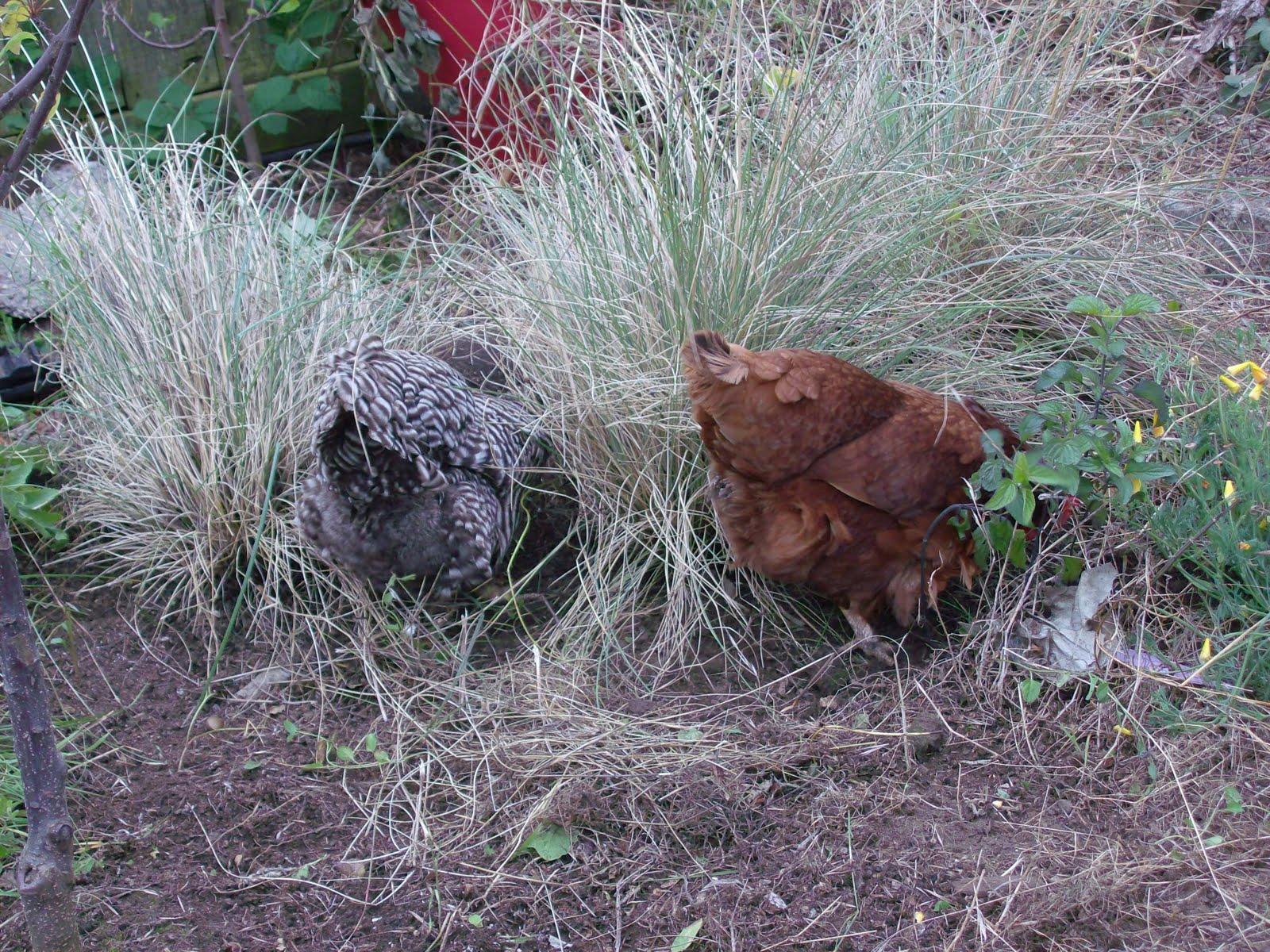 the great backyard chicken adventure part 11 sloat garden center