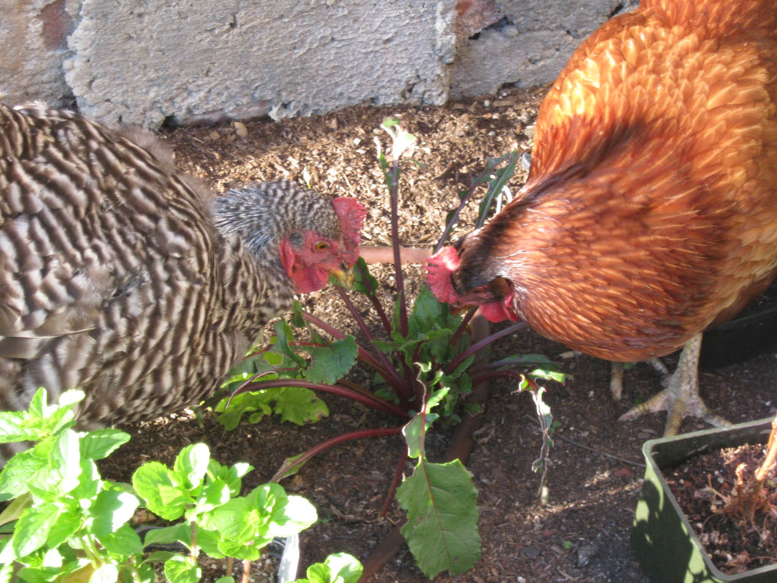 the great backyard chicken adventure part 20 peeps with