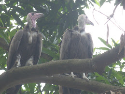 Vultures