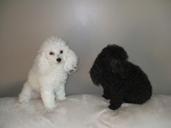My Toy Poodles