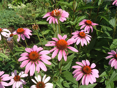 echinacea blooming in Kellogg-Hubbard Library garden,2006, photo by Rachel Senechal