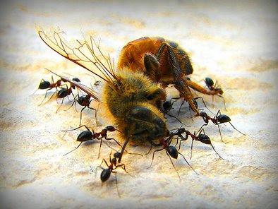 Vers la fin des abeilles... ?