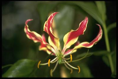 """Die tropische Prachtlilie auch /""""Ruhmeskrone/"""" genannt hat ihre Heimat in Afrika"""