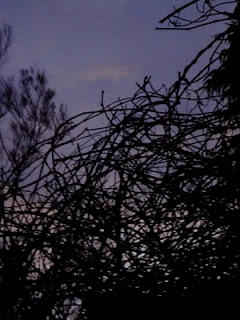 wisteria vine, dawn