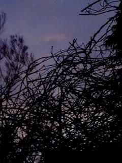 wisteria vine, dawn