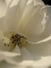 Adorazione del Fiore