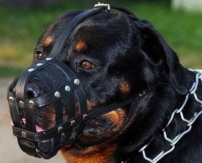 Bildkriget! HS-collar-leather-muzzle-for-rottweiler_LRG