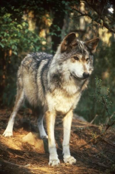 Graywolf is seen near Blacktail ...