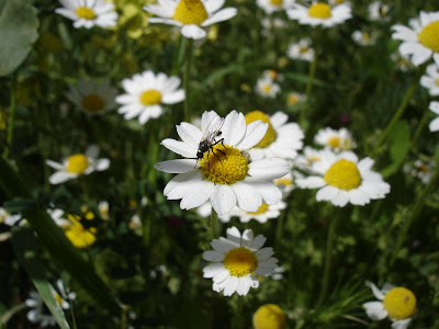 Insect on chamomile blossom