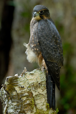 Karearea / NZ Falcon, photo Craig McKenzie
