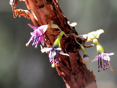 Fuchsia Perscandens flowers