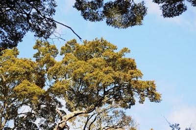 Mature Mountain Beech canopy