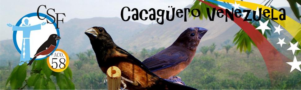 Cacaguero Venezuela