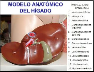 El blog del h gado the liver s blog 2 for En k parte del cuerpo esta el higado