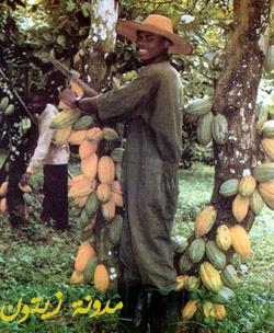 شجرة الكاكاوبالصور Cocoa250