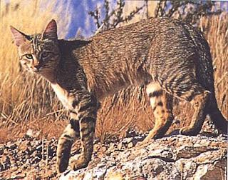 Felis lybica