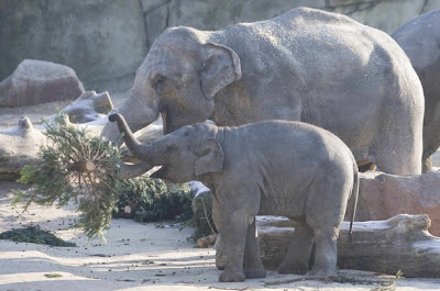 >elephants eat christmas trees