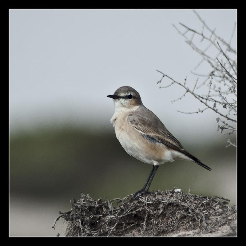 northen wheatear female