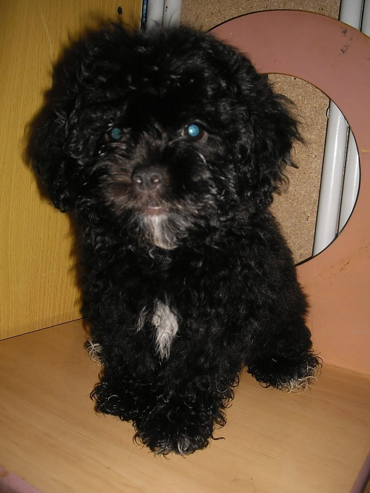 Sweetmomblog 2 Black Poodle For Sales