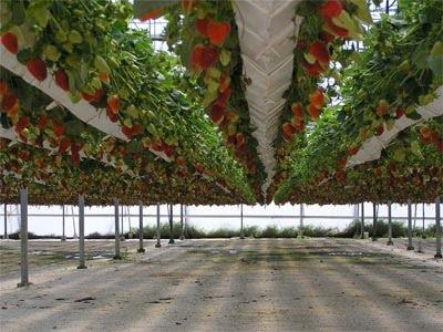 Resultado de imagen para fresa en invernadero