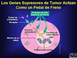 La activación del gen p53 en la piel previene el cáncer dermatologico